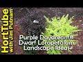 Purple Daydream® Dwarf Loropetalum Landscape Ideas