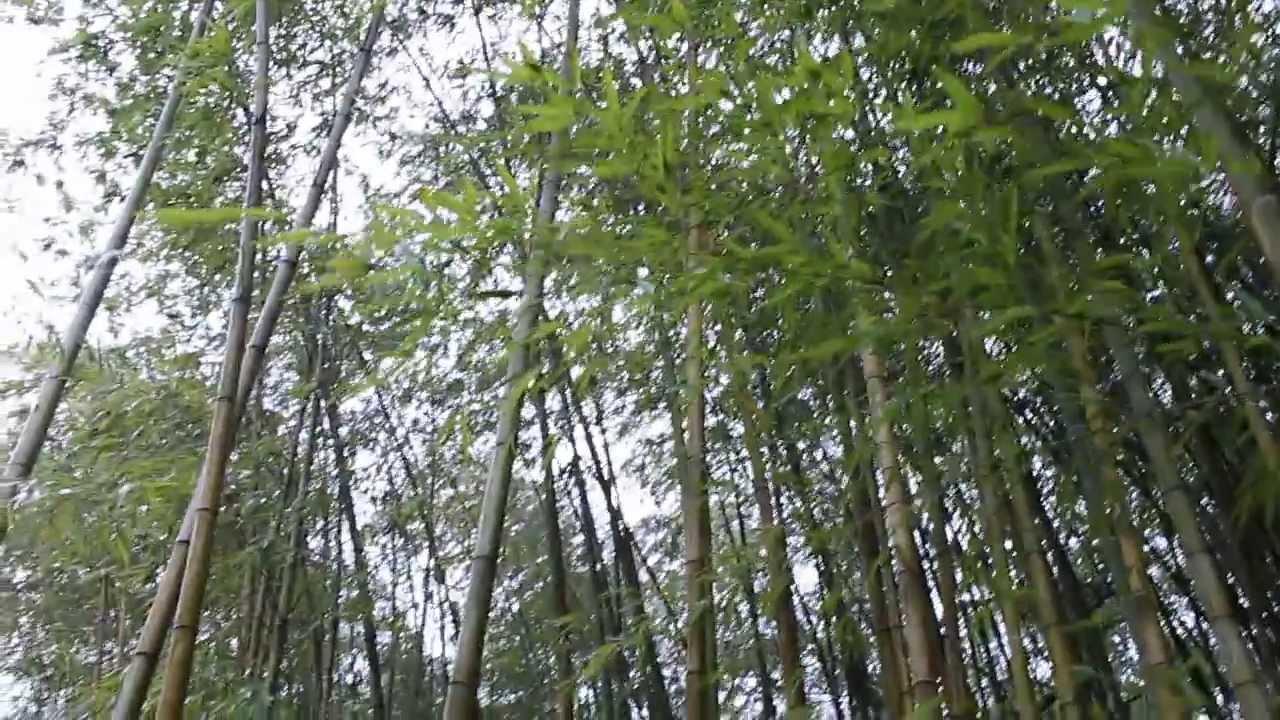 Bamb Gigante Onlymoso.Onlymoso Piantagione Sperimentale Villa Carlotta Italia