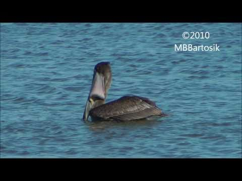 Brown Pelican - Plunge Dive Foraging Technique And Swallowing Jumping Fish Trapped Inside Pouch.wmv
