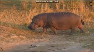 ~ Zwierzęta Afryki -  Hipopotam ~    Safari