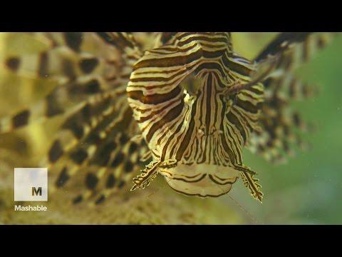 Invasion Of The Lionfish - Part 1 - The Threat | Mashable Docs