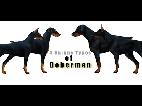4 Unique Types of Doberman in the World