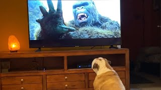 Khaleesi the Bulldog, Kong:Skull Island Reaction