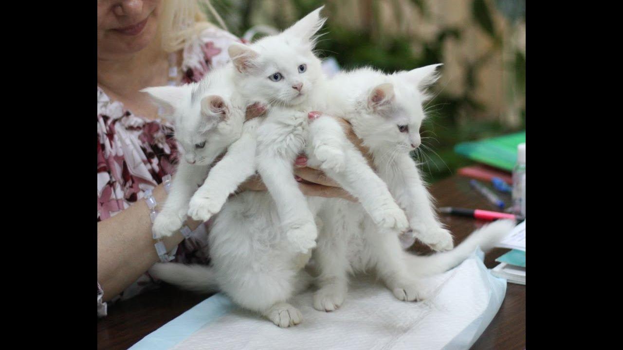 Белорусский питомник кошек породы мейн-кун apogeya*by. Мрамор с белым, котята редких окрасов, серебристо-чёрный мрамор, голубой мрамор,. Для выставок и для души, мейн-кун купить, беларусские питомники кунов,