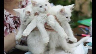 Белые мейн-куны котята питомника PCA СПАС
