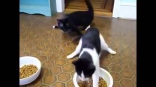 Видео котов и валерьянки  Кошки и валерьянка