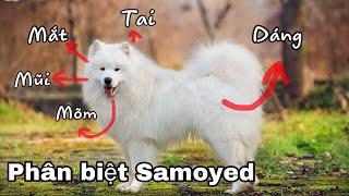 Hướng dẫn phân biệt chó Sam๐yed bạn nên biết