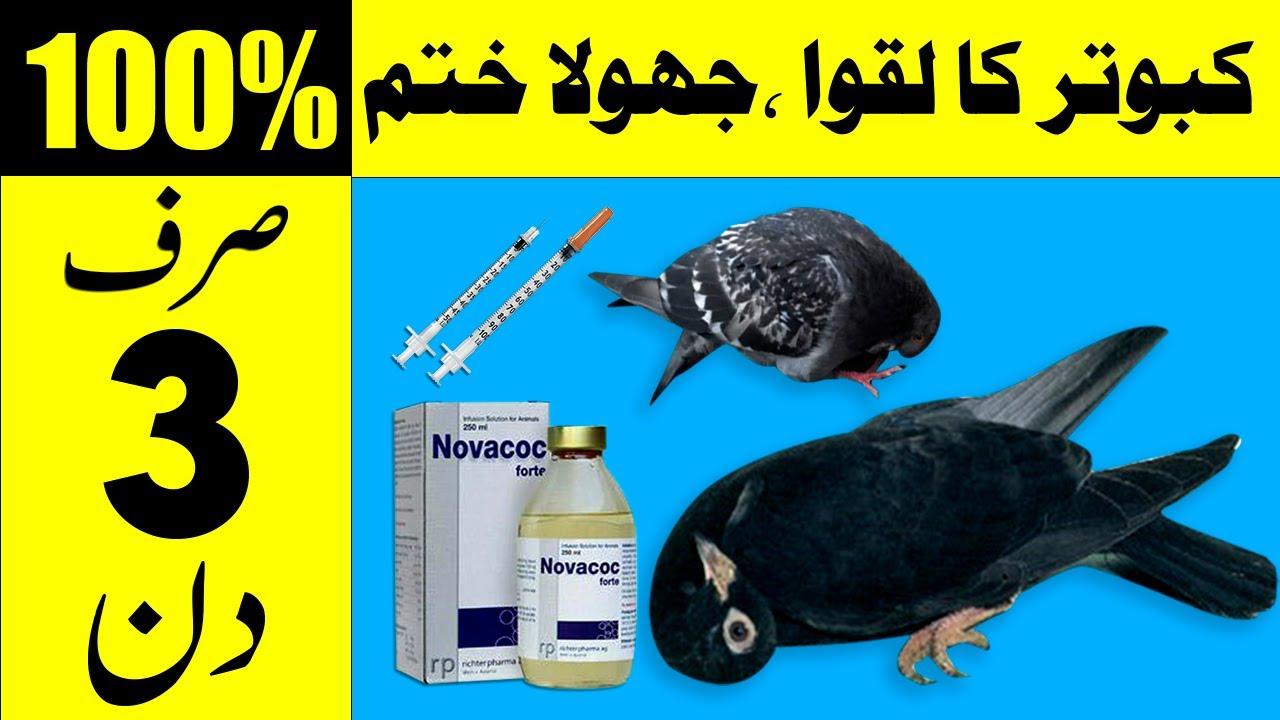 Download kabootar k laqwa ka 100% ilaj l kabootar k laqway l Pigeon Health Care l jholy ka ilaj By Hamid Ali