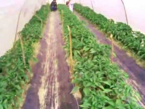 OFWM-Drip Irrigation System-On Farm Water Management-Agriculture Department Pakistan