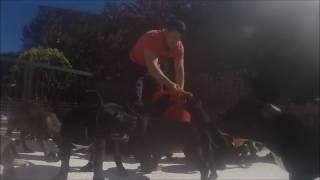 Feeding puppies Cane Corso) Кормление щенков Кане корсо)