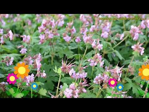 Герань крупнокорневищная Ингверсен Вариети. Краткий обзор geranium macrorrhizum Ingwersen's Variety
