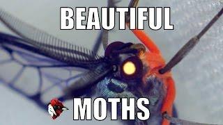 Moths Just as beautiful as butterflies. - Biodiversity Shorts #11