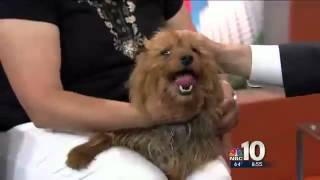 Prince, A Yorkshire Terrier Mix, Represents The Pennsylvania Spca On Nbc Dog Days