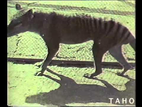 The Tasmanian Tiger 1964 Youtube