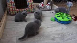 "Британские котята играют. Питомник ""From Hanna"" Минск"