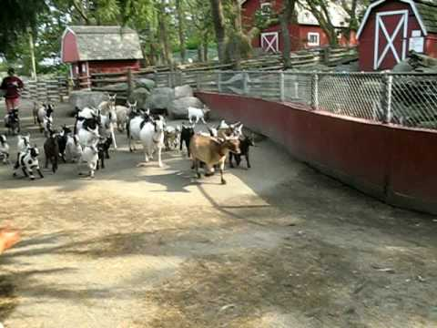 Goat Stampede Youtube