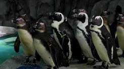 African Black-Footed Penguins Facts and Information from OdySea Aquarium in Scottsdale, Arizona