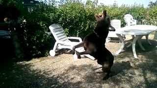 Slow motion labrador dog