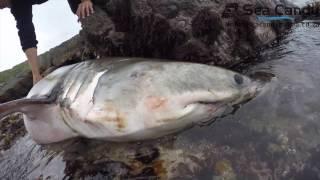 Great White shark dies
