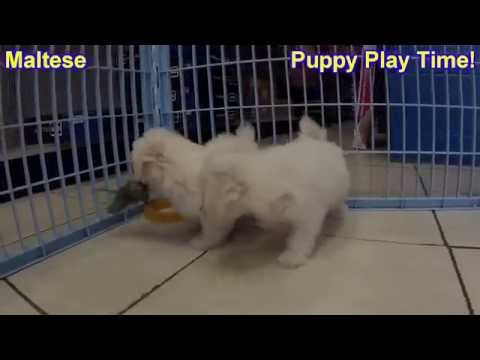 maltese,-puppies,-dogs,-for-sale,-in-lexington,-county,-kentucky,-ky,-19breeders,-owensboro