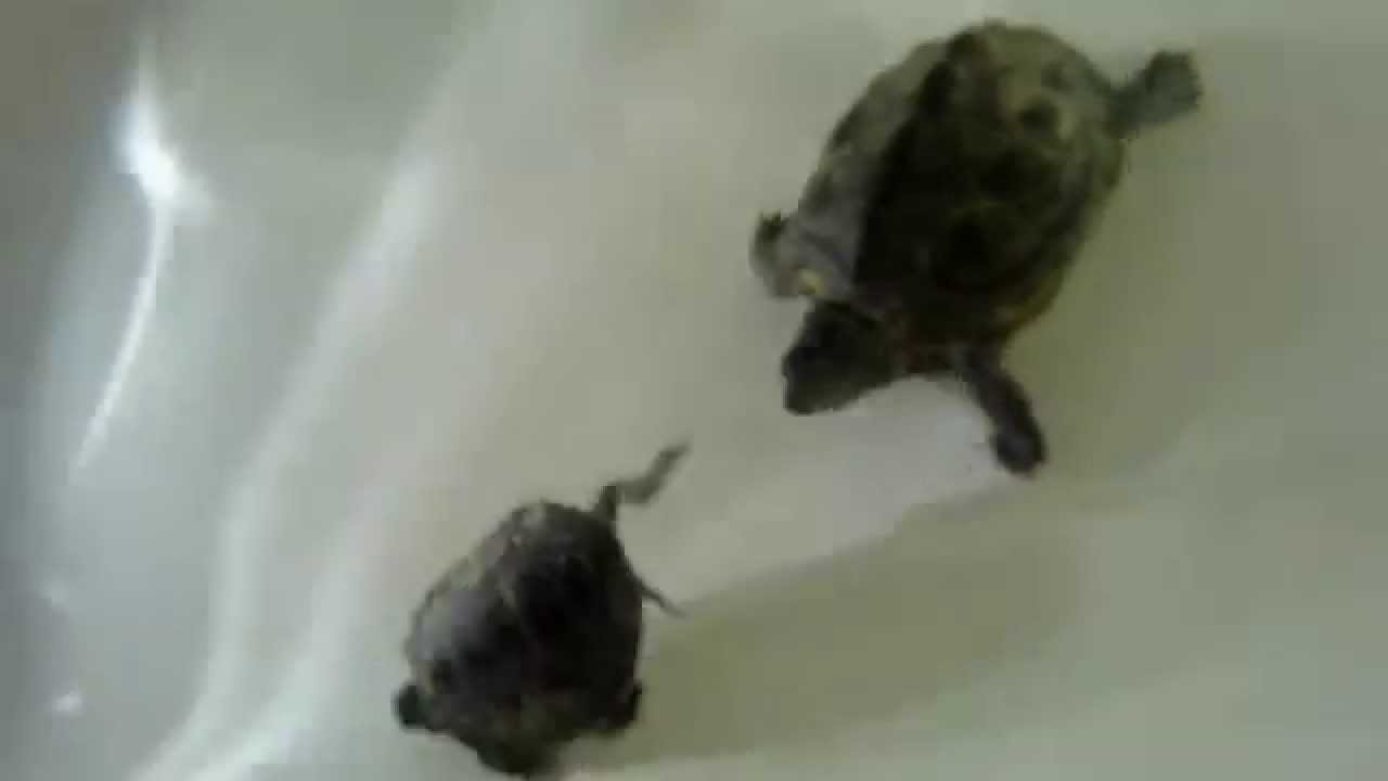 Turtles Playing In Bathtub Youtube