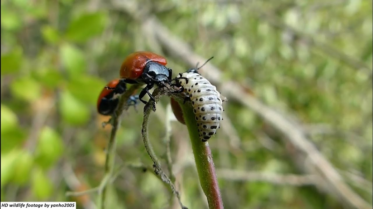 Animal Wars: Larva vs Beetle