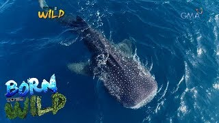 Born to Be Wild: Documenting the whale sharks of Southern Leyte