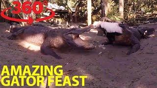 Extraordinary gator feeding frenzy in 360
