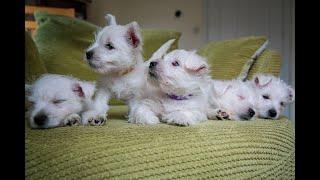 Mila's Westie Puppies