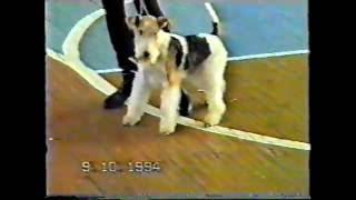 выставка собак 9 ОКТЯБРЯ 1994г. Фокстерьеры ж/ш. Судья Иванищева В..
