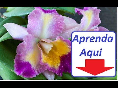 Como Plantar Orquídea Sapatinho hqdefault