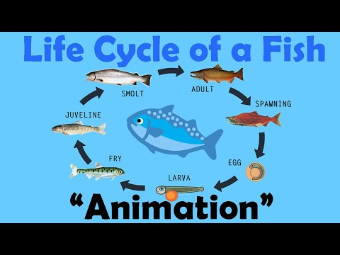 FISH LIFE CYCLE (Animation)