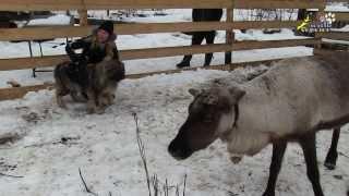 Нападение северных оленей на собак