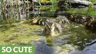 Rescued ducklings overjoyed to play and feast in pond