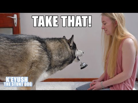 Ring The Bell For a Treat? My Husky THROWS it At ME!