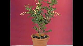 Growing the Chinese Perfume Plant (Aglaia odorata)