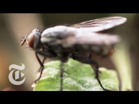 The Flight of the Fly | The New York Times