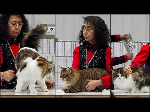 CFA International 2016 - Red Show class judging Maine Coon adults