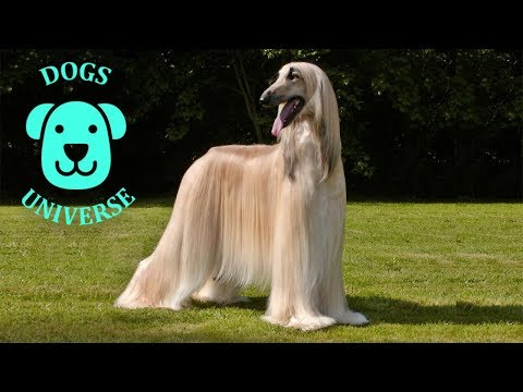 AFGHAN HOUND ► Characteristics and temperament 🐶