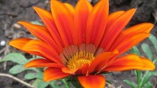 Газания, цветок для вашего сада(Газания красивое растение, цветущее до начала заморозок. Красивое растение до 20 -25 сантиметров высотой..., 2015-02-18T19:34:48.000Z)