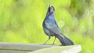 Blackbird A-Cappella