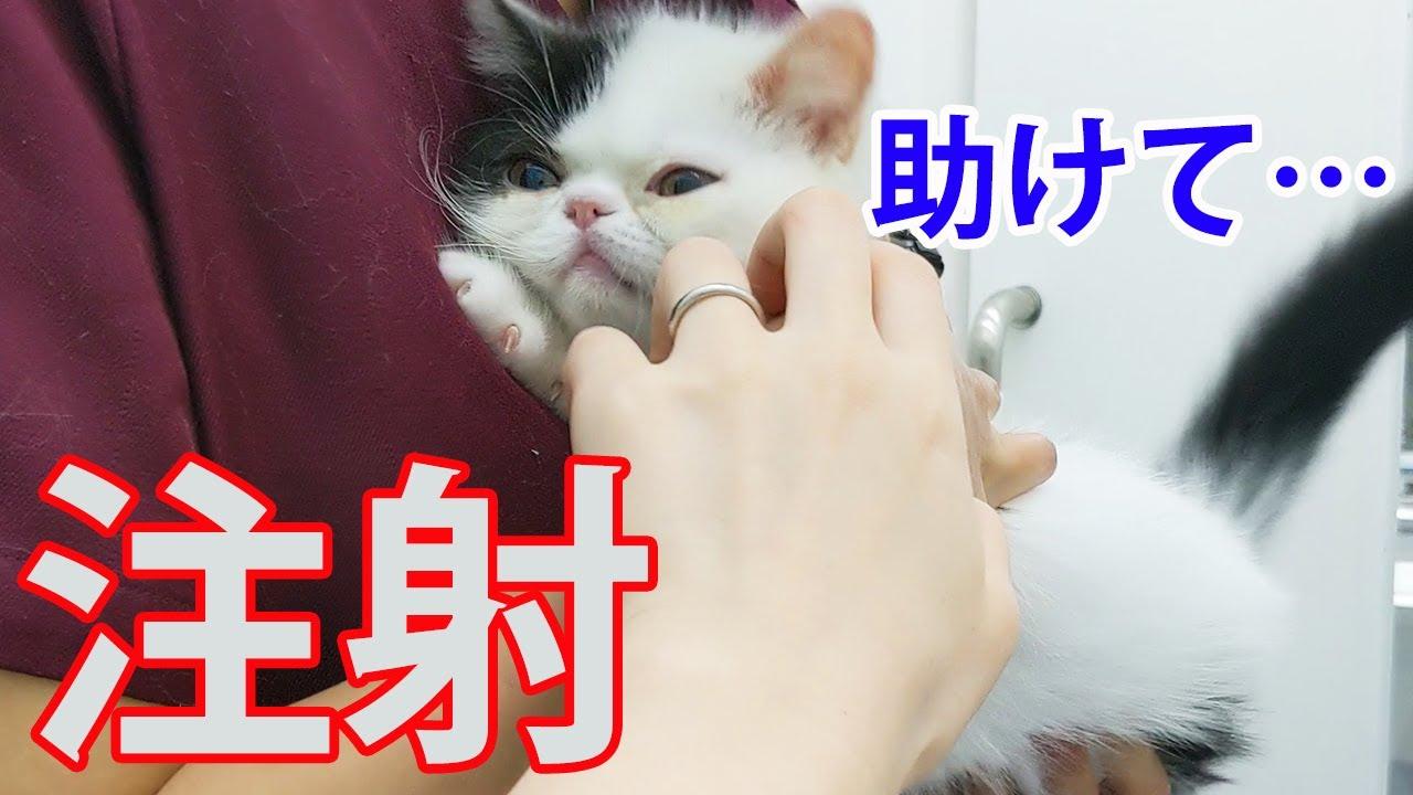 病院でワクチン注射、大泣きする子猫と応援する先住犬の反応が…【フレブル・ボステリ・エキゾ】