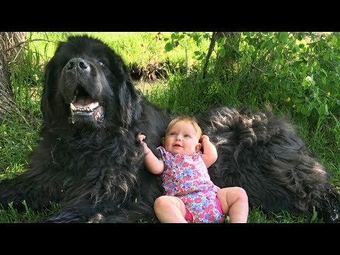 Giant Newfoundland Dogs Playing With Babies Compilation