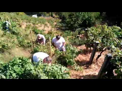 Labores de vendimia en la zona de Chantada