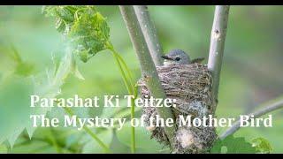 Jerusalem Lights Parashat Ki Teitze 5781: The Mystery of the Mother Bird