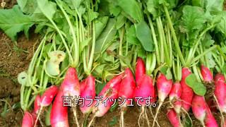 100円ショップ・ダイソーの種で家庭菜園「収穫編」ヨーキーりさのベジタブル・ガーデン