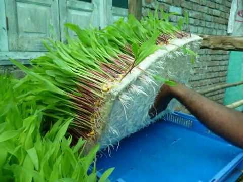 Govind Milk Phaltan Hydroponic fodder activity