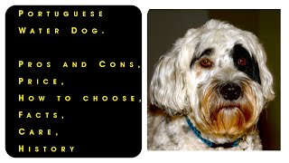 Portuguese Water Dog. Pros and Cons, Price, How to choose, Facts, Care, History