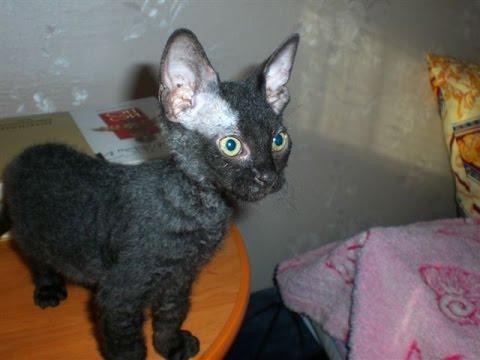 Донской сфинкс (велюровый котенок). Похож на чёрта! Очень бодрый.