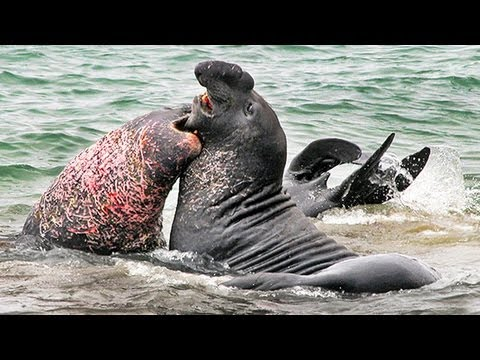Elephant Seals Fight for Dominance in California: Video